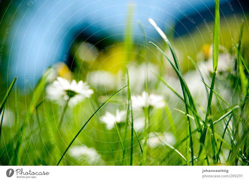 grasgrün eins. Natur blau grün Pflanze Umwelt Gras Frühling hell verrückt grell knallig gesättigt