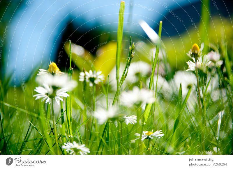 grasgrün drei. blau grün Sommer Gras Frühling hell verrückt Gänseblümchen gesättigt