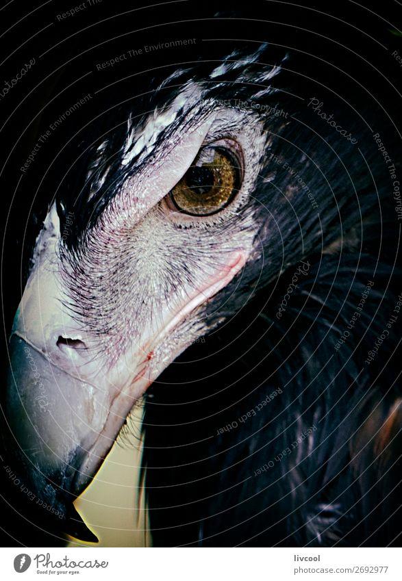 prächtiger Adler, Australien Ferien & Urlaub & Reisen Ausflug Abenteuer Ausstellung Natur Tier Handschuhe Wildtier Vogel 1 authentisch dunkel frei niedlich