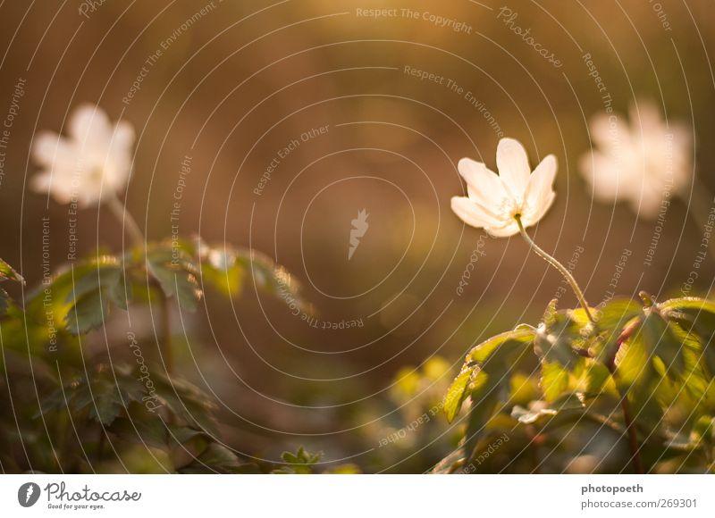 Wenn es Abend wird... Natur Pflanze Frühling Blume Blatt Blüte grün weiß Farbfoto Gedeckte Farben Außenaufnahme Textfreiraum oben Sonnenlicht Gegenlicht
