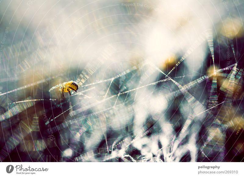 Das große Krabbeln (II) blau Sommer Tier schwarz gelb Frühling Bewegung klein Angst glänzend laufen Tiergruppe Schönes Wetter nah dünn Spinne