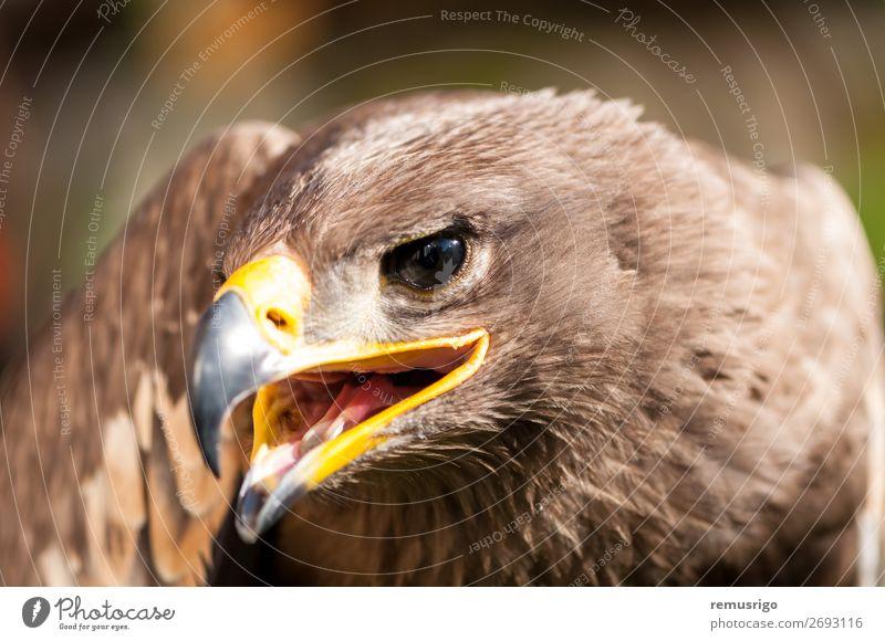 Nahaufnahme eines Steppenadlers Jagd Natur Tier Vogel wild braun accipitriformes Schnabel Fleischfresser Akkordata Lebewesen Adler gefährdet Falknerei Feder