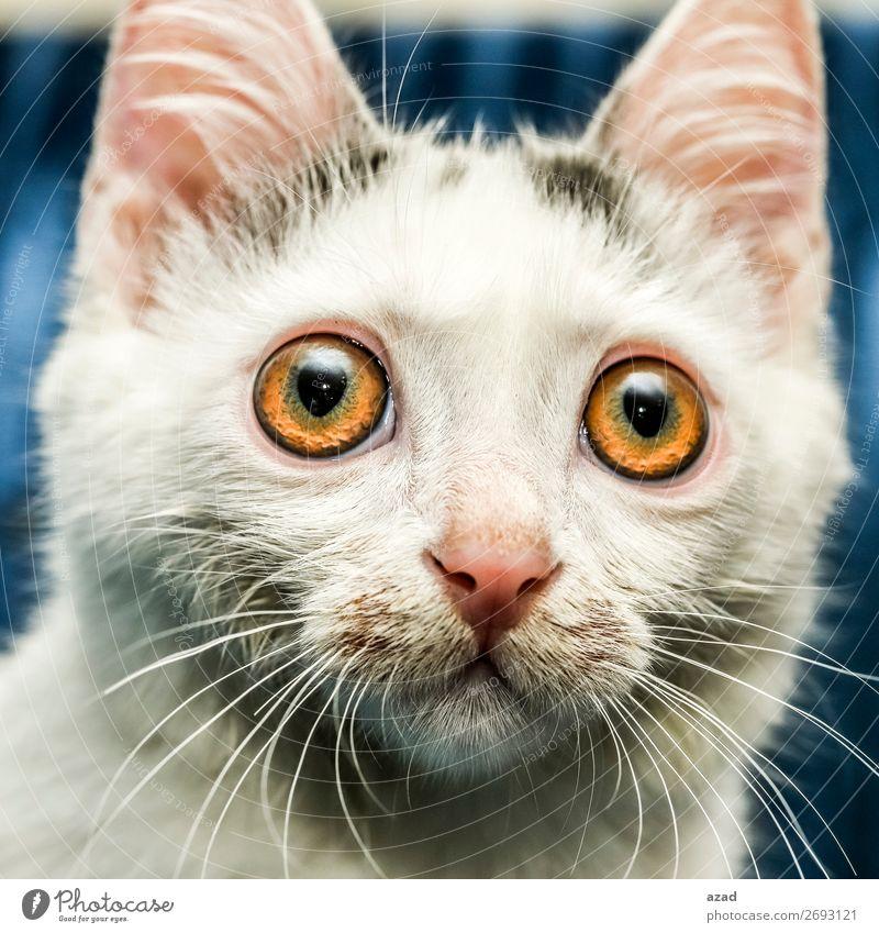 schau mich an Haustier Wunsch Katze Aussehen zuschauen Wachsamkeit Auge mehrfarbig Nahaufnahme Blitzlichtaufnahme