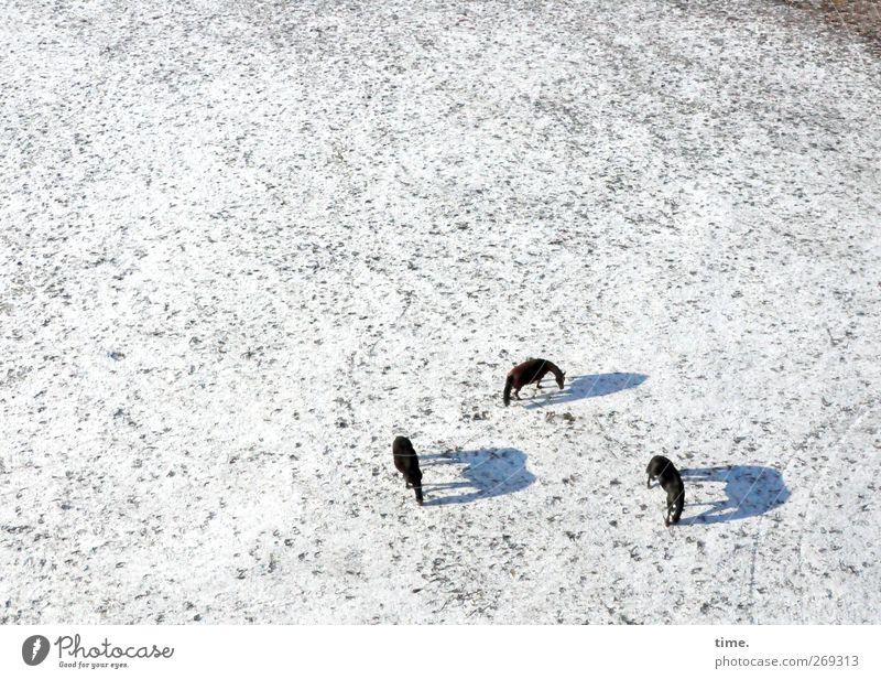4eyes | 3 PS Erde Winter Schönes Wetter Schnee Wiese Tier Nutztier Pferd Tiergruppe Partnerschaft Gelassenheit Gesellschaft (Soziologie) Konzentration Ordnung