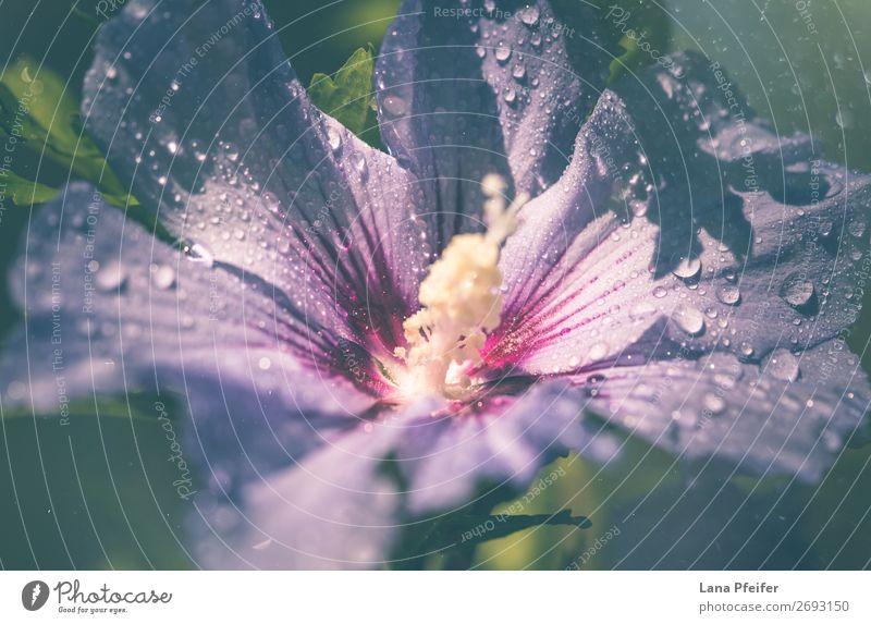 Nahaufnahme von Lila Hibiskus, der im Freien blüht. Umwelt Natur Landschaft Pflanze Wassertropfen Sommer Herbst Baum Blume Blatt Blüte Fröhlichkeit frisch blau