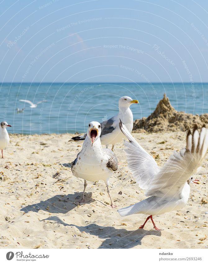 Schwarm von weißen Möwen fliegt am Schwarzmeerufer. Ferien & Urlaub & Reisen Tourismus Freiheit Sommer Strand Meer Umwelt Natur Landschaft Tier Sand Himmel