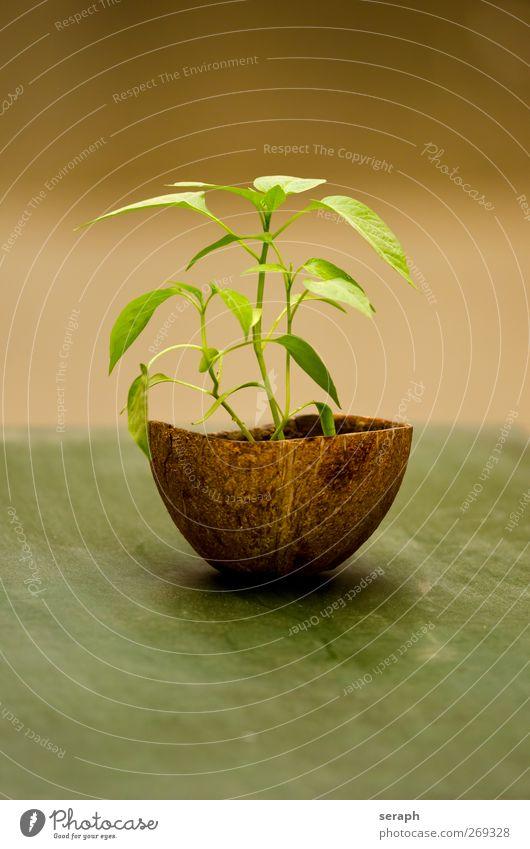 Jalapeno Gemüse Frucht Gesunde Ernährung Kokosnuss Nussschale Pflanze scoville Paprika Pfeffer burning Würzig fresh food organisch jalapeno Chili Peperoni