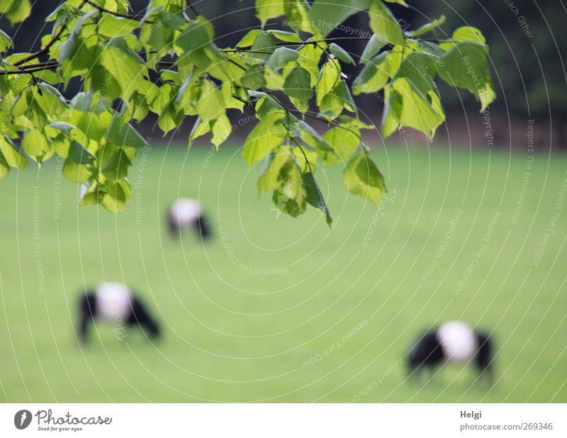 ländliche Idylle... Natur weiß grün Baum Pflanze Blatt Tier schwarz Umwelt Wiese Frühling Zufriedenheit frisch Wachstum ästhetisch authentisch