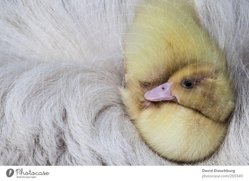 Weich gebettet weiß schön Tier Erholung gelb Tierjunges Vogel liegen sitzen schlafen Warmherzigkeit niedlich weich Fell Tiergesicht Ente