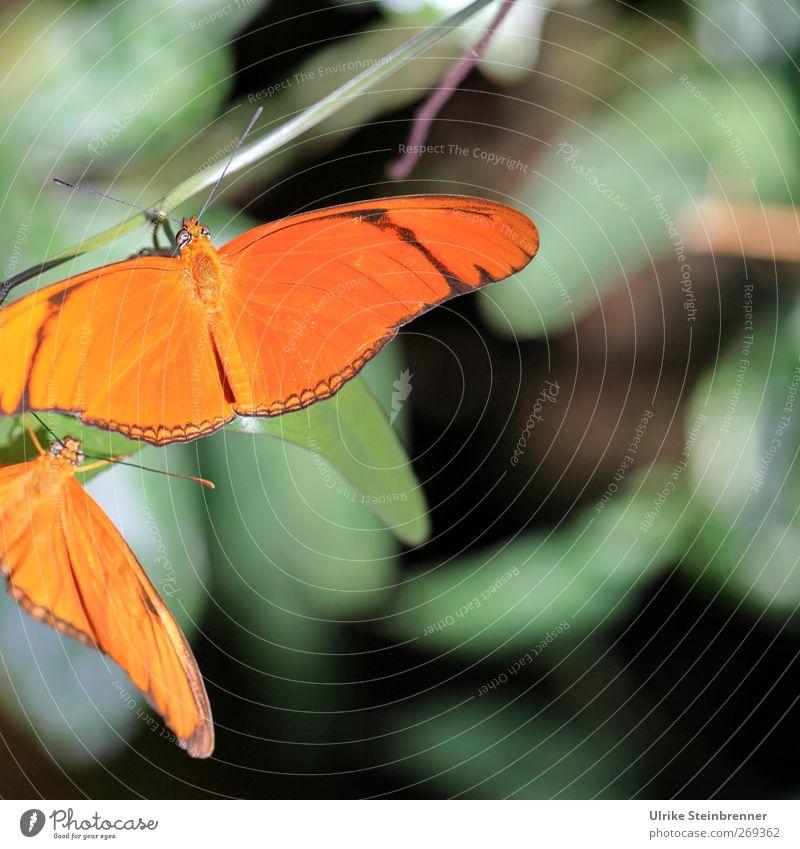 Date im Grünen schön Tier Freundschaft orange Zusammensein Tierpaar Wildtier sitzen warten ästhetisch leuchten Flügel festhalten Schmetterling Zoo Zusammenhalt