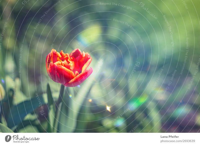 Nahaufnahme der isolierten Tulpenblüte Umwelt Natur Landschaft Pflanze Wassertropfen Sonne Frühling Blume Blatt Blüte grün rot türkis Romantik schön