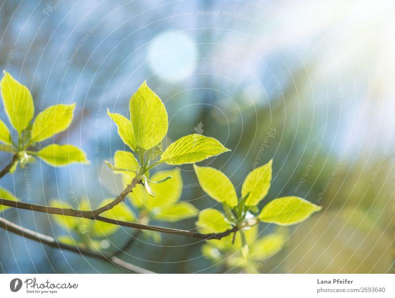 Morgens Sonnenlicht und Blätter Natur Landschaft Pflanze Frühling Baum Blatt Inspiration Wachstum grün Garten frisch ökologisch Ast hell Nahaufnahme Wald
