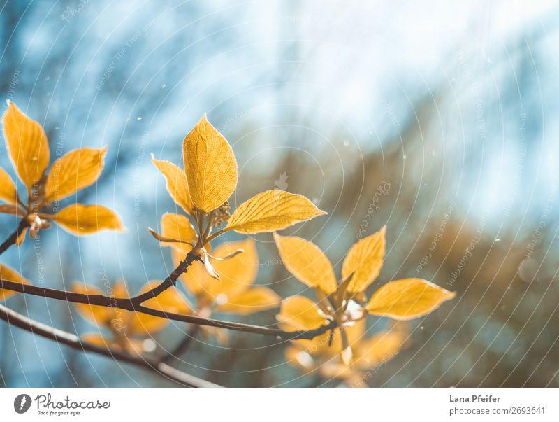 Morgens Sonnenlicht und Blätter Umwelt Natur Landschaft Pflanze blau braun gold Holz Blatt Wassertropfen Baum grün frisch ökologisch Grünpflanze hell Park Wald