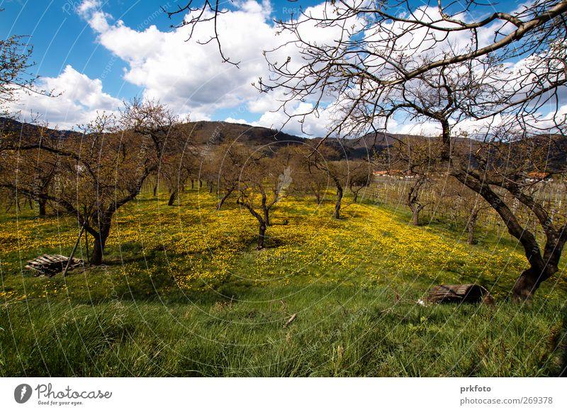 Obstplantage im Frühling Landschaft Pflanze Wolken Klima Schönes Wetter Baum Gras Nutzpflanze Wildpflanze Wiese Stimmung Zufriedenheit Lebensfreude