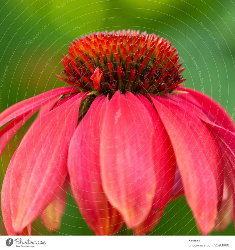 Knalliger Sonnenhut Sommer grün rot Blume Herbst Blüte Garten Park Gift Heilpflanzen Roter Sonnenhut