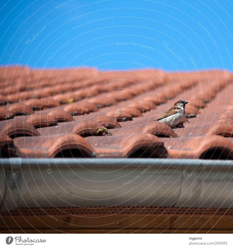 Das Zuhause eines Haussperling Himmel Wolkenloser Himmel Frühling Sommer Gebäude Fassade Dach Dachrinne Dachziegel Ziegeldach Regenrinne Tier Wildtier Vogel