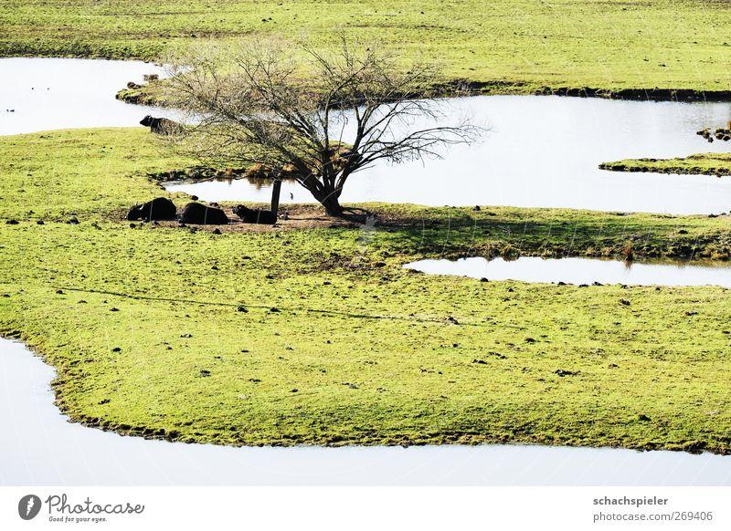 Beeder Bruch Natur Wasser grün Baum Tier Umwelt Landschaft Tiergruppe Umweltschutz Nutztier Sumpf Moor Biotop Wasserbüffel