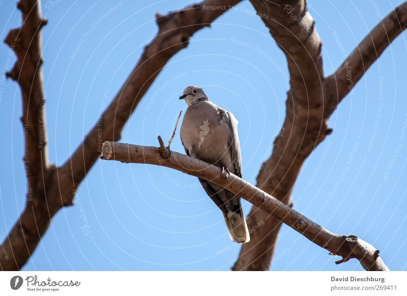 Sit & chill blau Baum Sommer Tier Vogel braun Wildtier sitzen Schönes Wetter Ast Tiergesicht Wolkenloser Himmel Taube