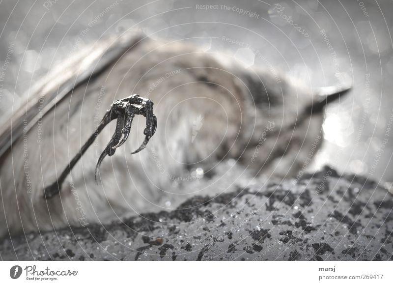 """""""Ausgaperscht"""" Tier Winter schwarz Umwelt dunkel Tod kalt Schnee Frühling grau Traurigkeit Vogel Wildtier natürlich Tierfuß trist"""