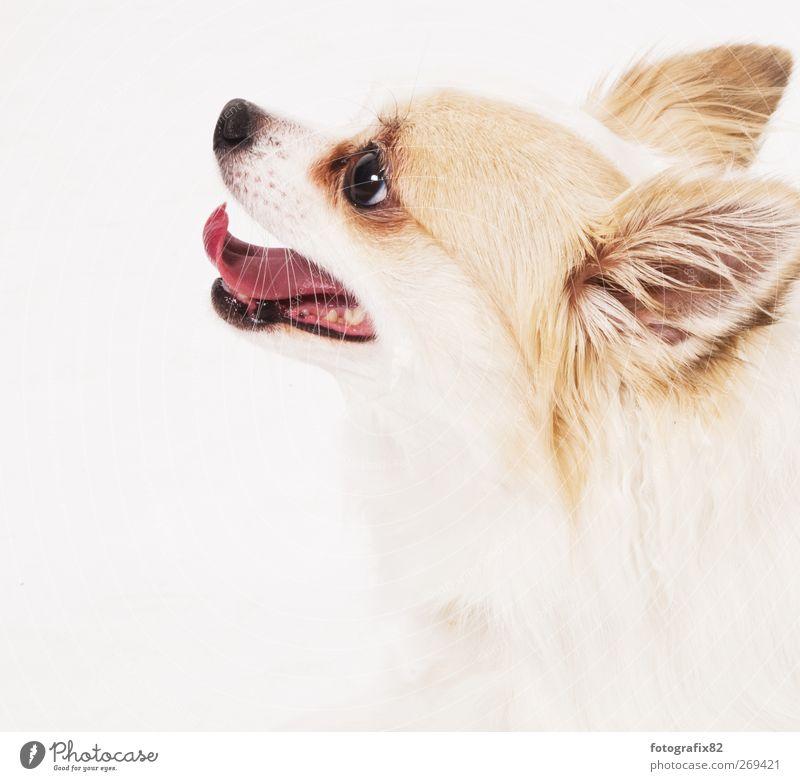 keine katze Hund weiß Tier Tiergesicht Haustier Schnauze