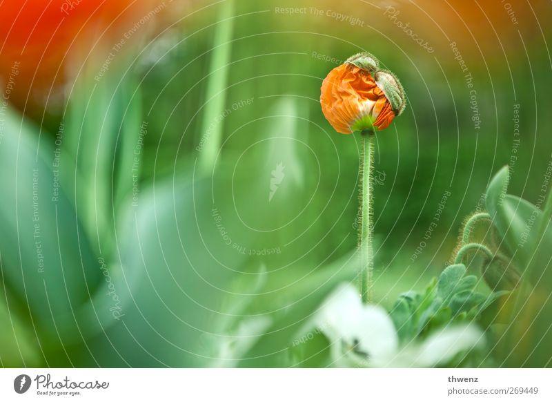 Mohn hat Hut Natur grün schön rot Pflanze Blume Blatt Leben Gefühle Frühling klein Garten Blüte Park Stimmung frei