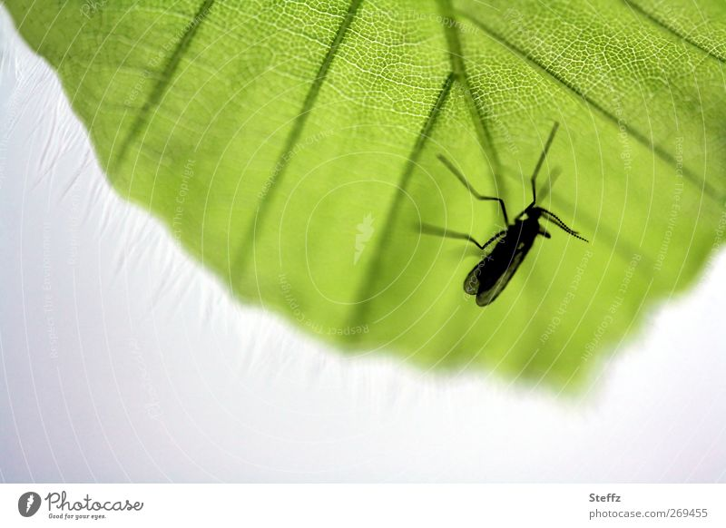 auf der Lauer Umwelt Natur Pflanze Tier Frühling Sommer Blatt Blattadern Flügel Stechmücke Insekt Beine Lebewesen warten klein grün schwarz Makroaufnahme