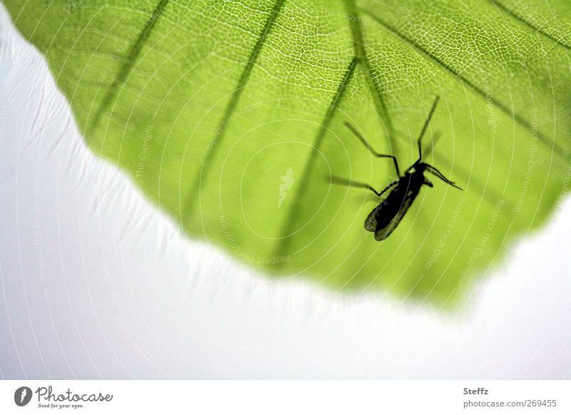 eine Mücke auf der Lauer Stechmücke Insekt lauern Blutsauger warten heimisch klein grün schwarz winzig nervig gefräßig durstig natürlich dünn beobachten nah
