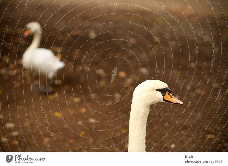 rutsch mir doch den Hals runter... Umwelt Natur Erde Tier Vogel Schwan 2 Tierpaar Brunft gehen laufen stehen dunkel braun weiß Treue Ärger Schnabel Federvieh