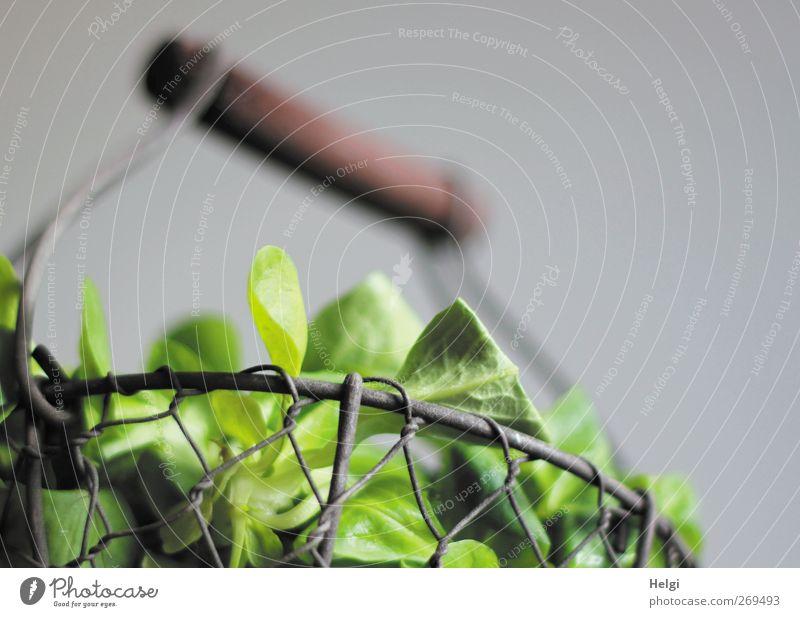 frischer Feldsalat grün schön Ernährung Lebensmittel grau Metall braun Zufriedenheit Ordnung ästhetisch einzigartig Appetit & Hunger lecker Bioprodukte Draht