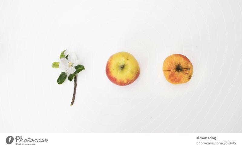 lebenslauf Natur alt grün Blatt Blüte Frucht frisch Wachstum Wandel & Veränderung Vergänglichkeit Apfel Bioprodukte Entwicklung Zweige u. Äste Zyklus