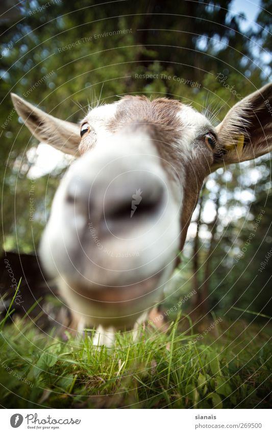 mua! Natur Tier Gras Nase Neugier nah Küssen Zoo Appetit & Hunger dumm Überraschung Gesichtsausdruck Haustier Fressen Geruch frech