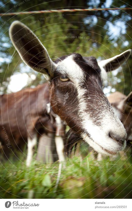 Zimtzicke Natur Tier Gras lachen Nase Neugier Ohr nah Küssen hören Zoo Appetit & Hunger diagonal dumm Wachsamkeit Überraschung