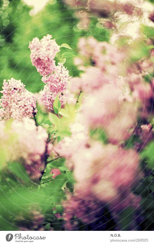 Schon wieda Flieda Natur Pflanze Blatt Umwelt Leben Frühling Garten Blüte Park Sträucher retro Vergänglichkeit