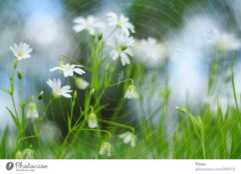 Zartgefühl Natur blau weiß grün schön Pflanze Blume Umwelt gelb Wiese Frühling klein Garten Blüte natürlich frisch