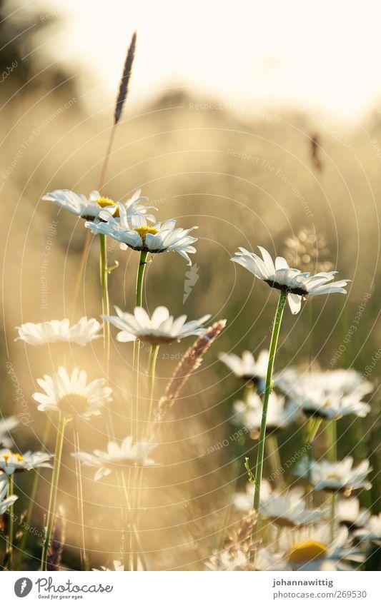 mittendrin. Umwelt Natur Landschaft Pflanze Sonne Sonnenaufgang Sonnenuntergang Sommer Schönes Wetter Blume Gras Sträucher Feld heiß nah natürlich schön gelb