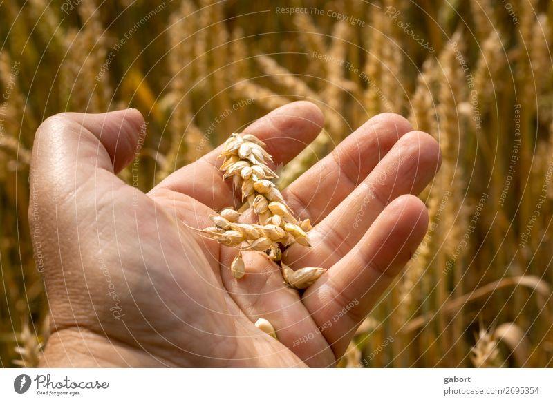 ein Bauer prüft seine Ernte mit den Händen auf seinem Feld Ackerbau Natur Korn Weizen gold Sommer Lebensmittel golden Hintergrund Sonne Hand Mann gelb
