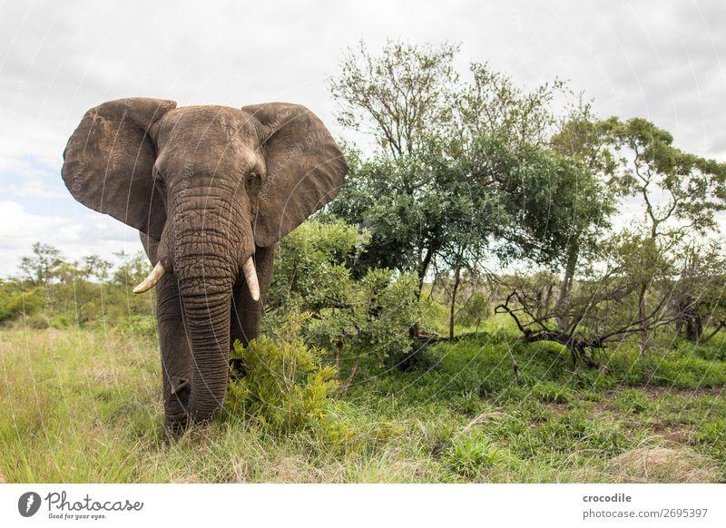 Elefant im kruger national park Rüssel Porträt Nationalpark Südafrika Stoßzähne Elfenbein ruhig Krüger Nationalpark majestätisch wertvoll Safari Natur