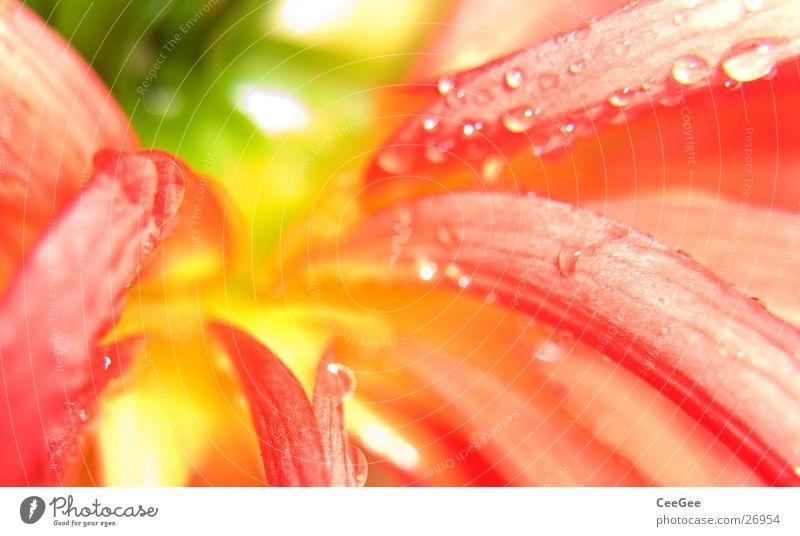 Herbstblüte Blüte rot gelb grün Pflanze Blume Wiese nass feucht weiß Natur Blühend Makroaufnahme Garten Detailaufnahme Nahaufnahme Wassertropfen Regen Seil hell