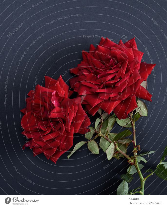 zwei rot blühende Rosen Valentinstag Muttertag Hochzeit Geburtstag Natur Pflanze Blume Blatt Blüte Blumenstrauß Blühend frisch schwarz Romantik Farbe Vorbau