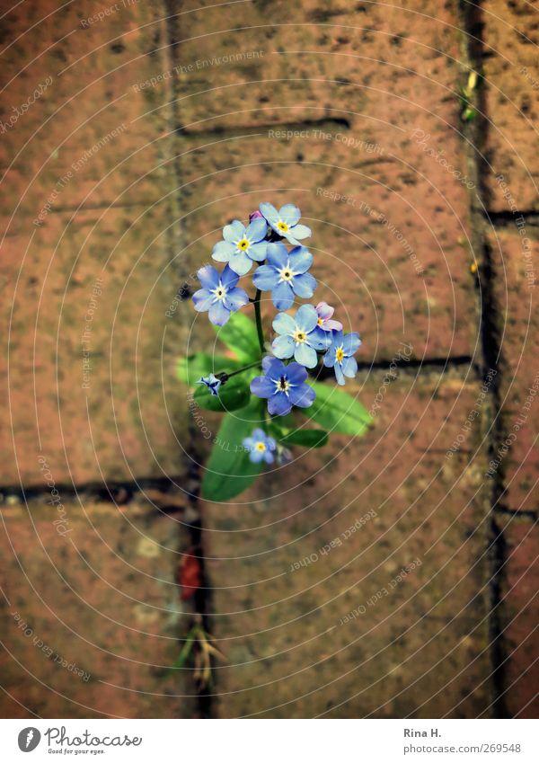 Durchbruch Natur blau rot Pflanze Blume Frühling Kraft wild natürlich Blühend Pflastersteine dominant Vergißmeinnicht Durchsetzungsvermögen