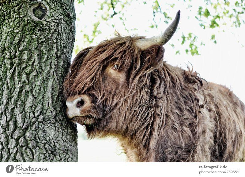 Alter, mach Platz! Landwirtschaft Forstwirtschaft Natur Sonnenlicht Frühling Sommer Schönes Wetter Pflanze Baum Tier Nutztier Kuh Fell Schottisches Hochlandrind