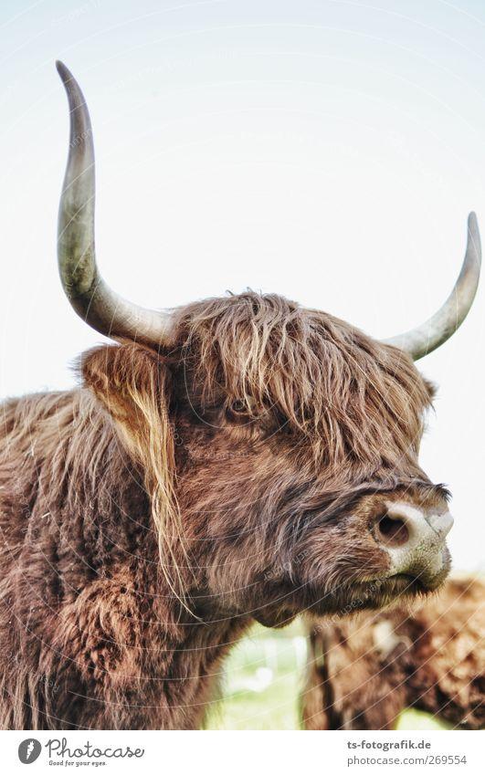 Horny babe Landwirtschaft Forstwirtschaft Umwelt Natur Tier Nutztier Kuh Fell Spitze Schottisches Hochlandrind Haare & Frisuren Pony Wildtier wild 1 dunkel