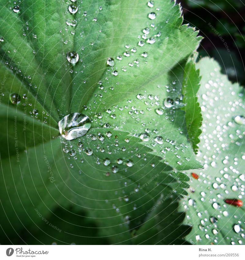 FrauenMantel Natur grün Pflanze Blume Blatt Umwelt Frühling Garten Regen nass frisch Frauenmantel