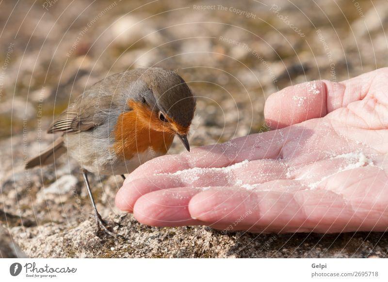 Hübscher Vogel mit einem schönen orange-roten Gefieder. Leben Mann Erwachsene Hand Umwelt Natur Tier Blume Moos Stein klein natürlich wild braun gelb weiß