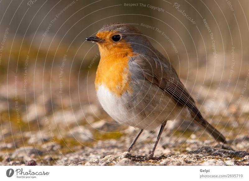 Hübscher Vogel mit einem schönen orange-roten Gefieder. Leben Mann Erwachsene Umwelt Natur Tier Blume Moos Stein klein natürlich wild braun gelb weiß Tierwelt
