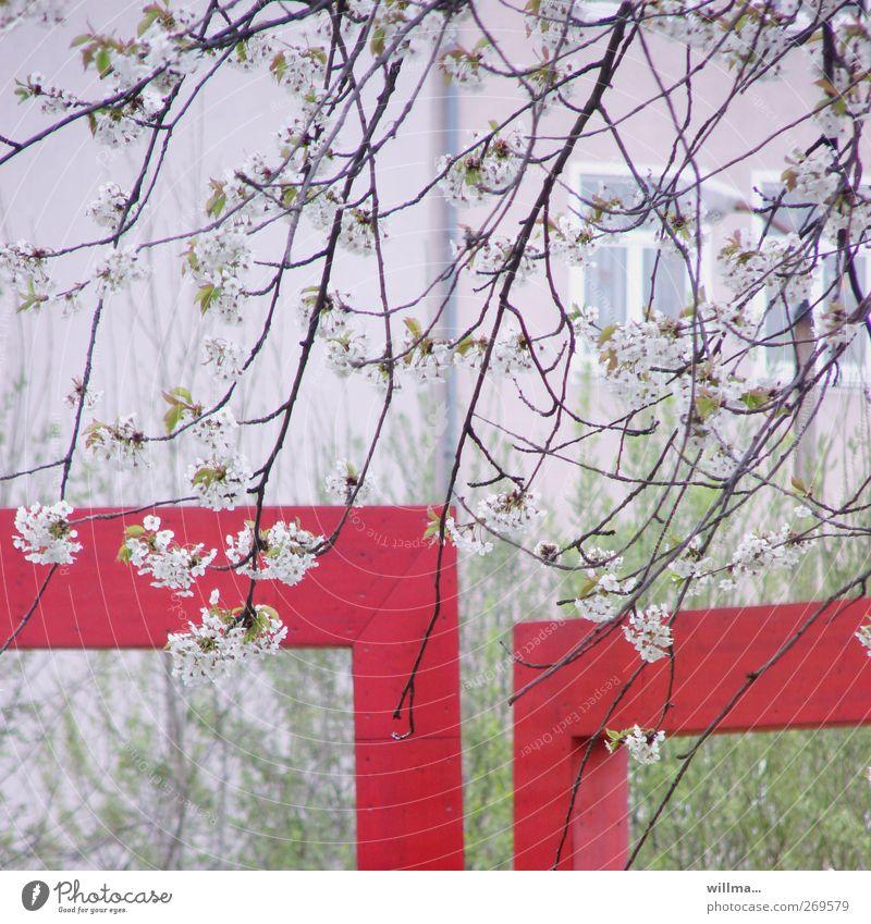 vorstadtfrühling Natur Frühling Pflanze Blüte Kirschbaum Kirschblüten Zweige u. Äste Haus Fenster grün rot weiß Ecke Größenunterschied Größenvergleich Farbfoto