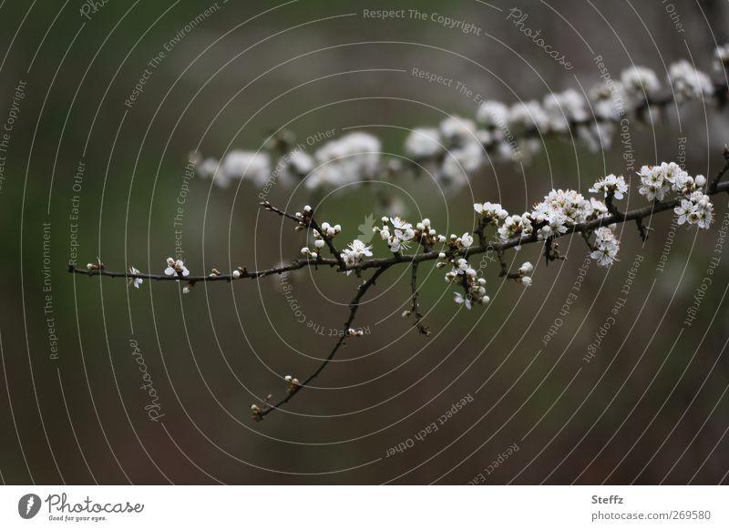 Frühlingsblüten Kirschblüte Kirschblüten Zweig Blütenknospen erblühen Blühend dezent braun neu grau weiß fein ästhetisch Neuanfang Mai Erdton dunkelbraun