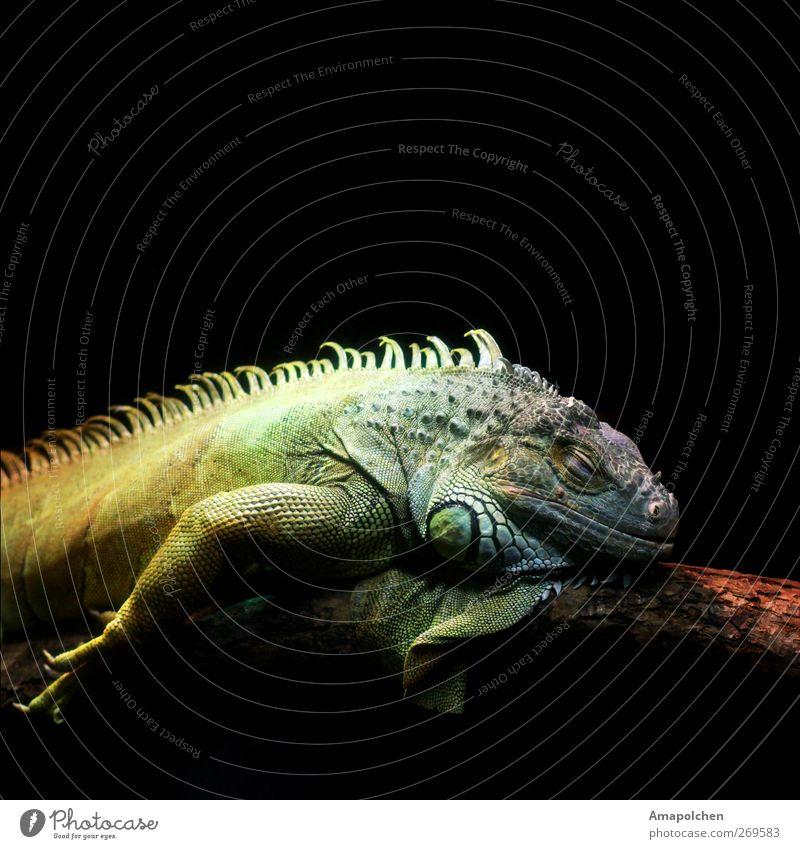 ::12-5:: ruhig Tier Tiergesicht Schuppen Zoo liegen Bart-Agame Leguane Reptil schlafen Vor dunklem Hintergrund Farbfoto Gedeckte Farben Innenaufnahme