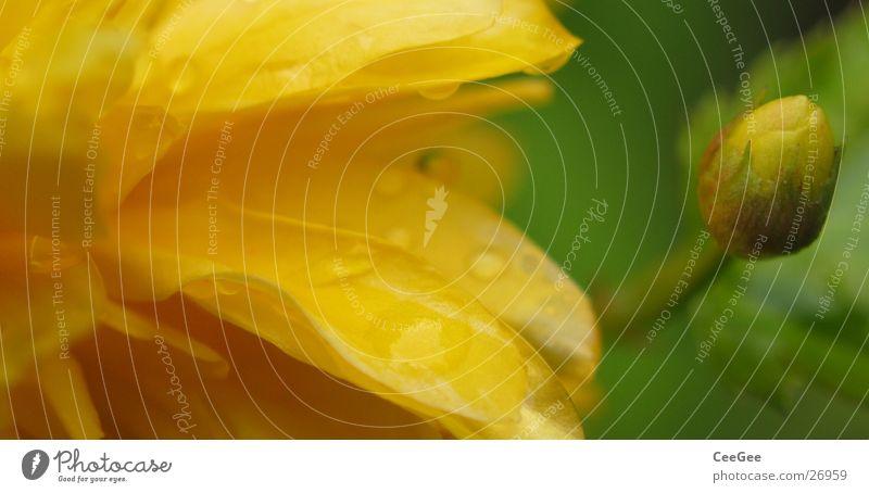 weiche Farben Pflanze Blüte Blume gelb grün geschlossen offen Makroaufnahme Natur Nahaufnahme Wassertropfen Regen Seil
