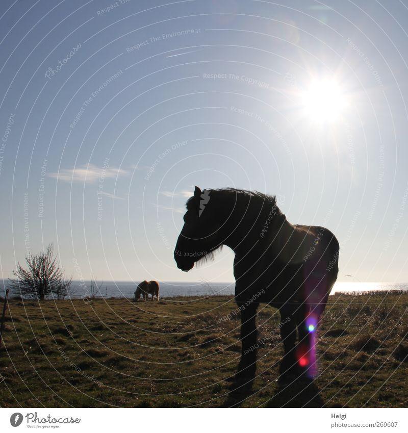 im Gegenlicht... Umwelt Natur Landschaft Pflanze Wasser Himmel Sonne Frühling Schönes Wetter Gras Sträucher Wiese Küste Ostsee Tier Nutztier Pferd 2 beobachten